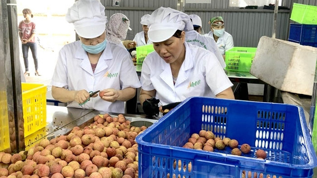 Lychee under preliminary processing before shipped to Japan. (Photo: baohaiduong.vn)