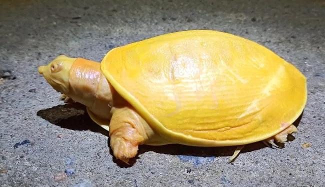 Phát hiện rùa toàn thân màu vàng tươi vô cùng quý hiếm ở Ấn Độ - ảnh 3