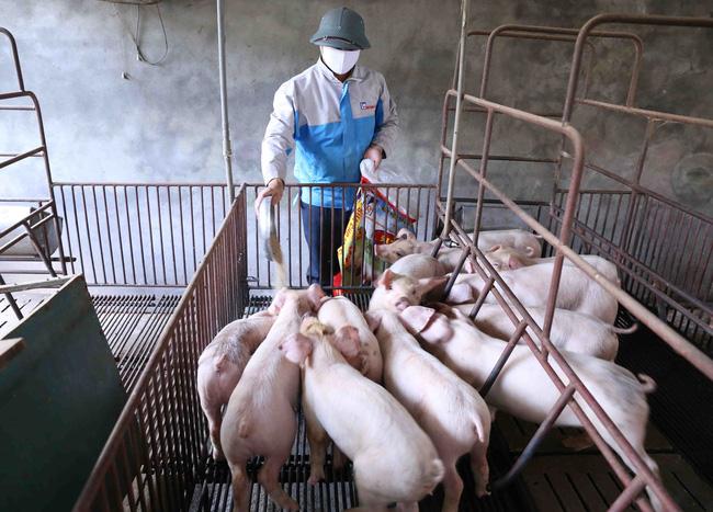 Cuối năm nay, tổng đàn lợn sẽ tương đương trước khi có dịch - ảnh 3
