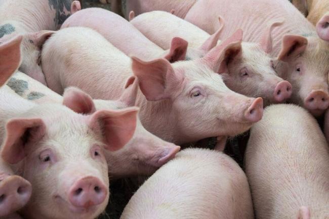 Nguồn cung thịt tươi khó khăn, TP Hồ Chí Minh cần 10.000 con lợn mỗi ngày - ảnh 2