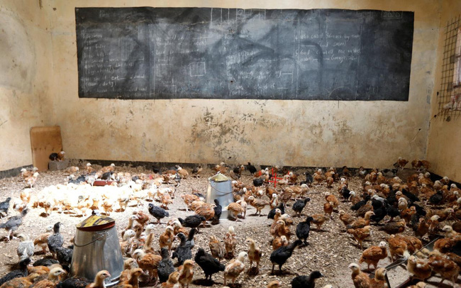Trường học đóng cửa do COVID-19, giáo viên nuôi gà trong lớp - ảnh 4