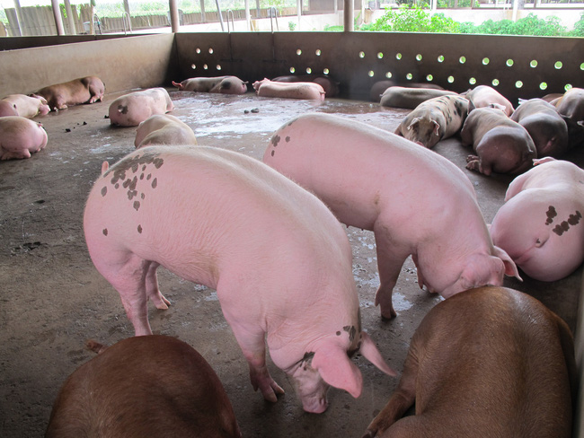 Vì sao giá lợn hơi tăng trở lại, trong khi cơ quan chức năng nói giá sẽ giảm? - ảnh 4