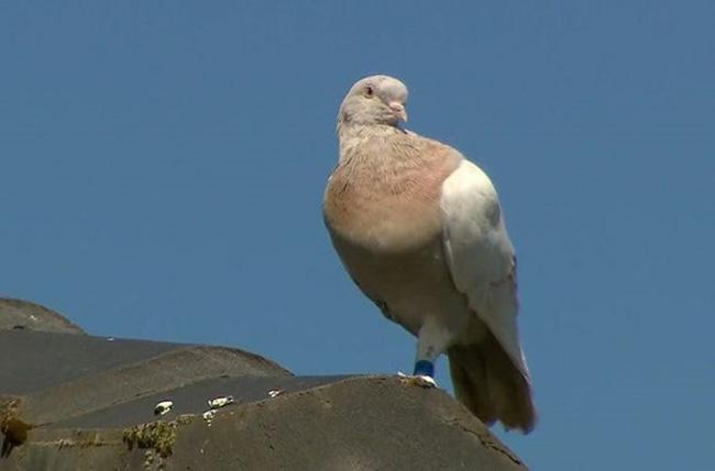 Giới chức Australia đau đầu vì chim bồ câu bay lạc từ Mỹ đến không qua kiểm dịch - ảnh 1