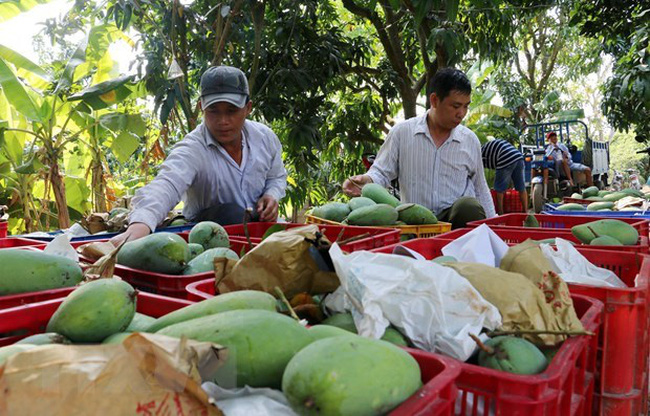 Mangoes harvested in the Mekong Delta province of An Giang (Photo: VNA)