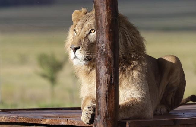 Nam Phi hướng tới cấm nuôi nhốt sư tử để kinh doanh du lịch - ảnh 3