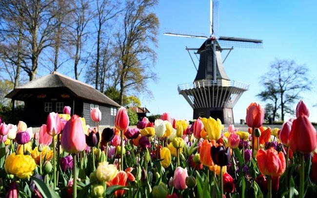 Choáng ngợp trước hàng triệu bông tulip vào mùa nở rộ ở Hà Lan - ảnh 6