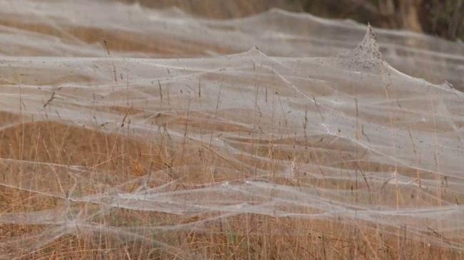 Vì sao hàng loạt mạng nhện phủ trắng các khu vực của bang Victoria, Australia? - ảnh 4
