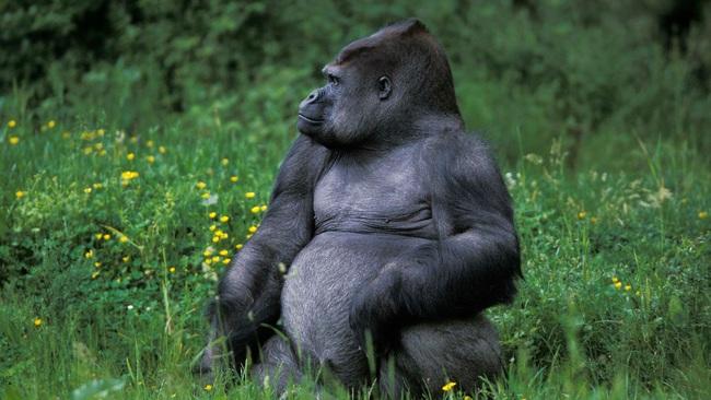 Lần đầu tiên quan sát thấy tinh tinh tấn công và hạ gục khỉ đột - ảnh 3