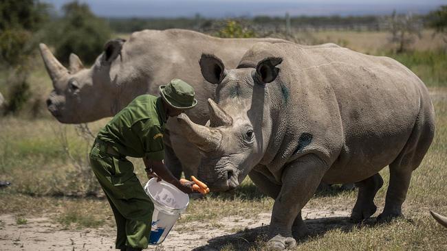Tạo phôi thai để cứu tê giác trắng phương Bắc khỏi họa tuyệt chủng - ảnh 3