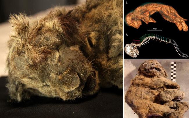 Phát hiện xác sư tử 28.000 tuổi nguyên vẹn trong hang động cổ đại - ảnh 6