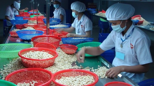 Vietnam is the largest cashew nut exporter to Russia. (Photo: VNA)