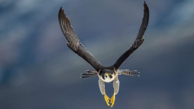 9 loài động vật nhanh nhất thế giới - ảnh 10