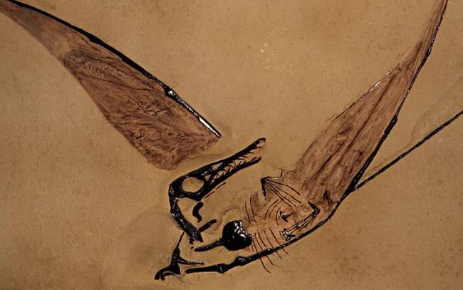 """Phát hiện hóa thạch """"rồng bay"""" tồn tại cách đây 160 triệu năm - ảnh 2"""