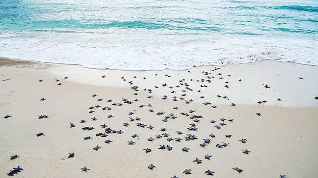 Sea turtles crawling back to the sea. (Photo: NDO)
