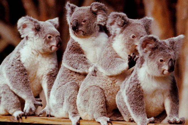 Australia mất đi 1/3 số Koala trong 3 năm qua - ảnh 3