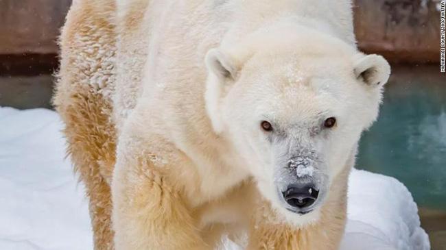 Gấu Bắc Cực cao niên nhất được người chăm sóc qua đời tại vườn thú Milwaukee - ảnh 2