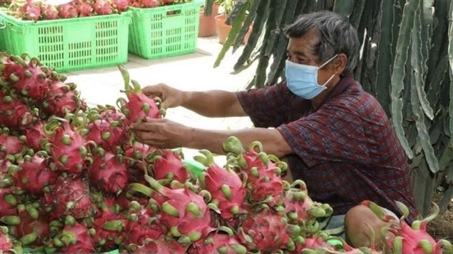 Dragon fruit is among fresh Vietnamese fruits that are allowed to enter the US market. (Photo: VNA)