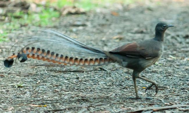 Kỳ lạ loài chim ở Australia có thể bắt chước giống hệt tiếng khóc trẻ con - ảnh 3