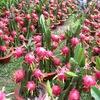 Vietnamese dragon fruits debut in Australia