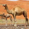UAE company turns camel milk into baby formula