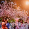 Cherry Blossom Festival to take place in late March