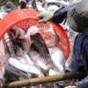 Mekong Delta localities discuss tra fish development
