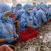 New breakthrough for shrimp industry