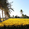 My Binh's yellow daisy village in full bloom for Tet