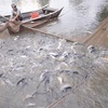Boosting consumption of tra fish in domestic market