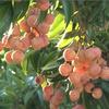 Farmers in Hai Duong prepare lychee exports