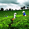 Local tea exports surge in first half