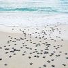 Magical breeding season of sea turtles in Bay Canh Island