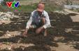 Khánh Hòa: Triển khai dự án bảo vệ nguồn lợi rong mơ gặp khó khăn