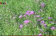 Tím ngát hoa thạch thảo trên cao nguyên
