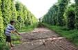 Phú Yên: Nông dân bế tắc khi tiêu chết hàng loạt