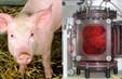Công bố thành tựu nuôi cấy phổi sinh học trên lợn