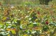 Cánh đồng hoa hồng ở Sa Đéc, Đồng Tháp sẽ mở cửa miễn phí dịp lễ 2/9