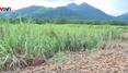 """Nông dân """"đứng ngồi không yên"""" vì 1.000 tấn mía vẫn nằm ruộng"""
