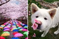 https://vtv1.mediacdn.vn/thumb_w/630/2016/spring-japan-cherry-blossoms-national-geographics-221-1458807729246.jpg