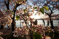 https://vtv1.mediacdn.vn/thumb_w/630/Uploaded/lanchi/2014_03_26/cherry_blossom_Washington_10_270314.jpg