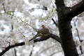 https://vtv1.mediacdn.vn/thumb_w/630/Uploaded/lanchi/2014_03_26/cherry_blossom_Washington_13_270314.jpg
