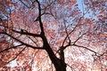 https://vtv1.mediacdn.vn/thumb_w/630/Uploaded/lanchi/2014_03_26/cherry_blossom_Washington_2_270314.jpg