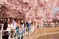 https://vtv1.mediacdn.vn/thumb_w/630/Uploaded/lanchi/2014_03_26/cherry_blossom_Washington_3_270314.jpg