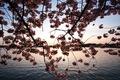 https://vtv1.mediacdn.vn/thumb_w/630/Uploaded/lanchi/2014_03_26/cherry_blossom_Washington_4_270314.jpg