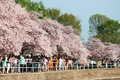 https://vtv1.mediacdn.vn/thumb_w/630/Uploaded/lanchi/2014_03_26/cherry_blossom_Washington_5_270314.jpg