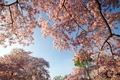 https://vtv1.mediacdn.vn/thumb_w/630/Uploaded/lanchi/2014_03_26/cherry_blossom_Washington_7_270314.jpg
