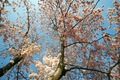 https://vtv1.mediacdn.vn/thumb_w/630/Uploaded/lanchi/2014_03_26/cherry_blossom_Washington_8_270314.jpg