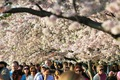 https://vtv1.mediacdn.vn/thumb_w/630/Uploaded/lanchi/2014_03_26/cherry_blossom_Washington_9_270314.jpg