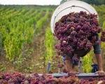 Lao động thời vụ 'nở rộ' trong mùa thu hoạch châu Âu