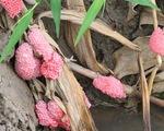 Cần khẩn trương dập tắt dịch ốc bươu vàng trên lúa